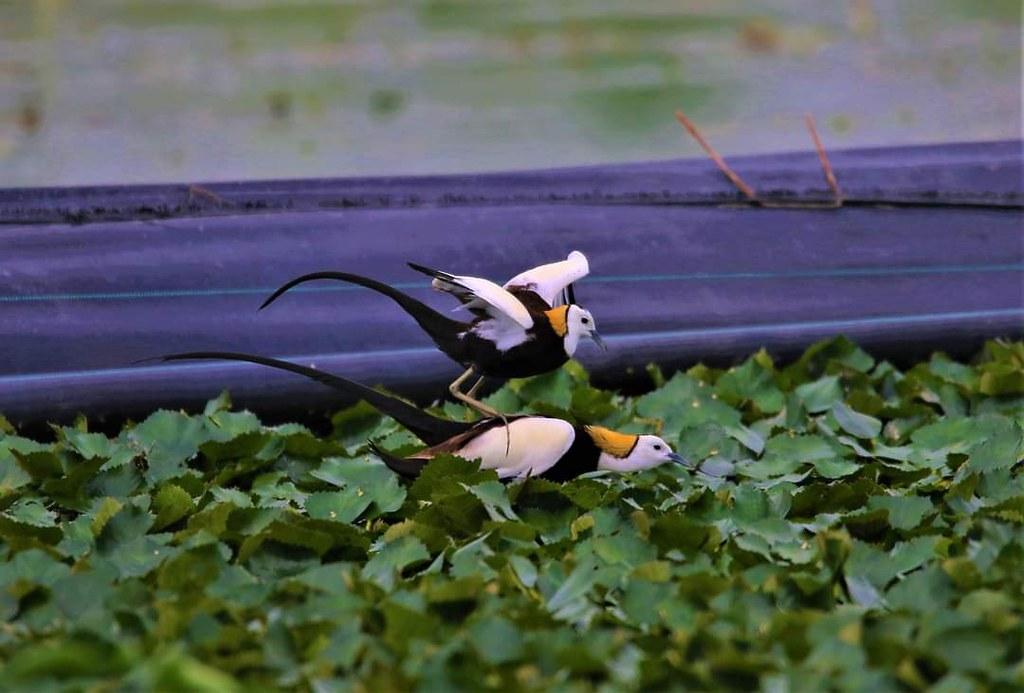 透過綠色保育友善農法,讓第二級保育類動物水雉能在菱角田間安居。(陳福順提供)