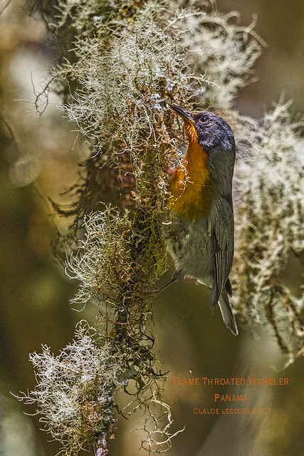 Flame_Throated_Warbler_WEB_2U6A6993