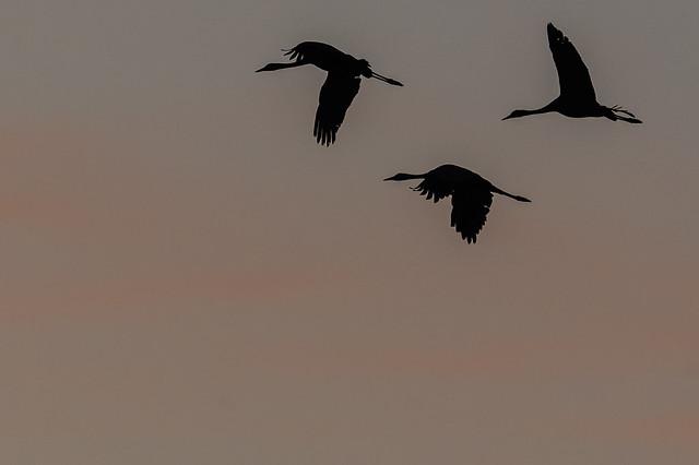 Grua europea - Grulla comun - Common crane - Grue cendrée - Grus grus