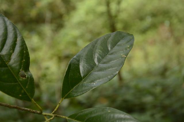 Mastixia arborea (7)