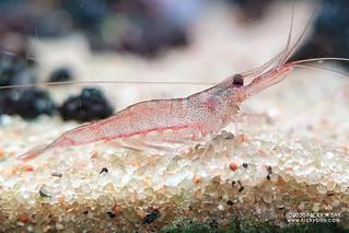 Pink Boxer Shrimp (Caridina longidigta) - caridina-longidigta-20200721_213739