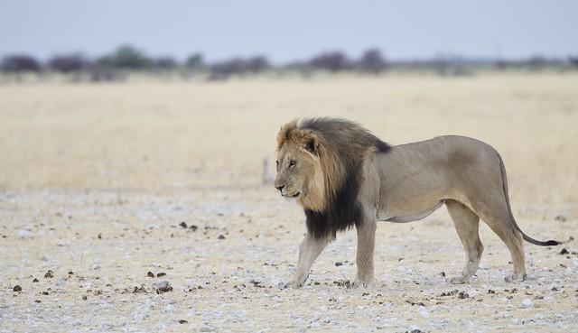Namibi Etosha the black king