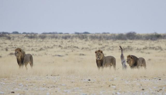 Namibia the three kings of Etosha