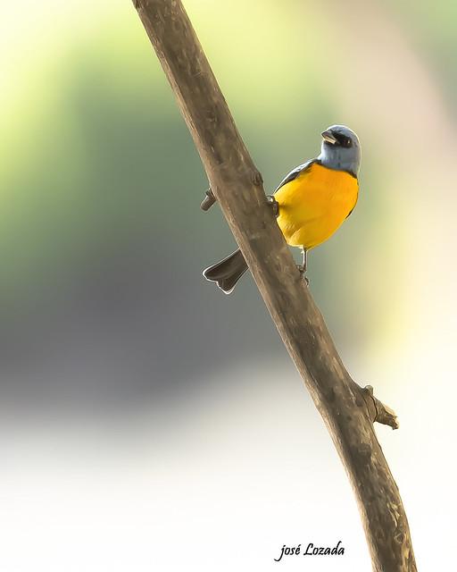 Que curioso!!! El hermoso Naranjero
