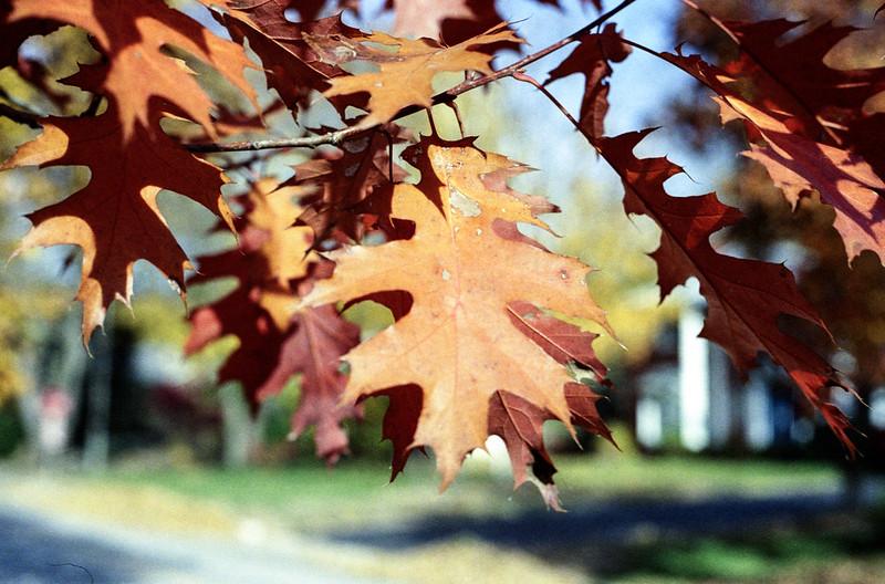 Tenatious Oak Leaves
