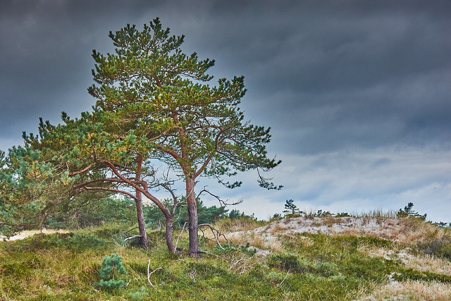 The pine in the dunes