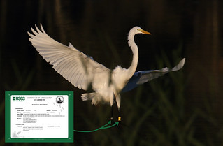 Great Egret band A17 and USGS Certificate....6O3A5700A