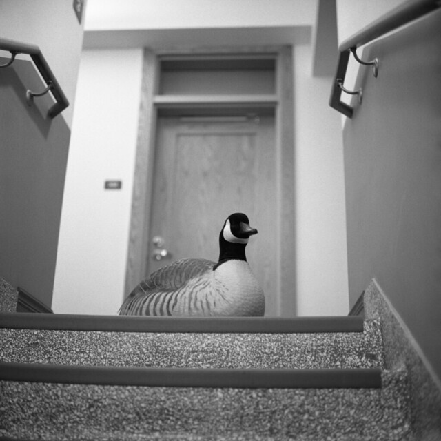 The Goose At the Door