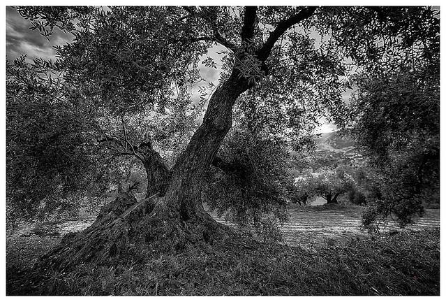 Tierra de olivos