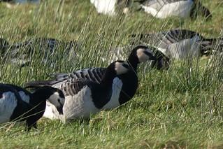 Barnacle Geese, Solway coast, Cumbria
