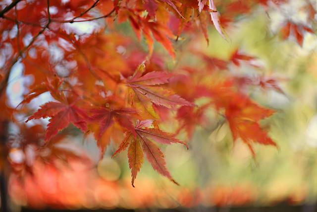 Ablaze Maple Leaves