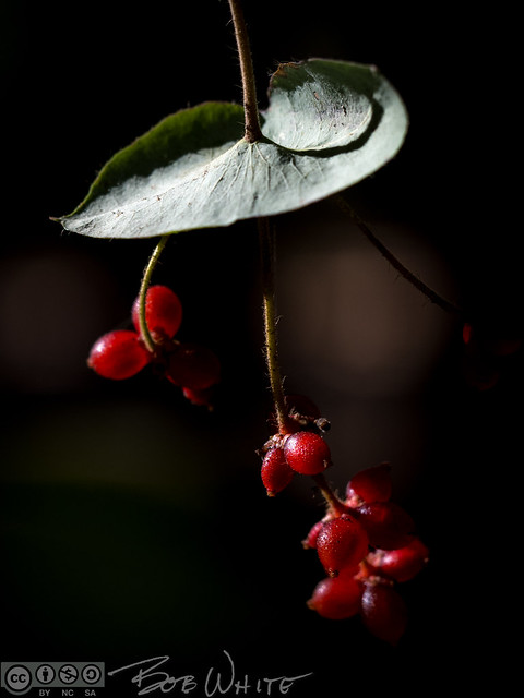Backyard berries