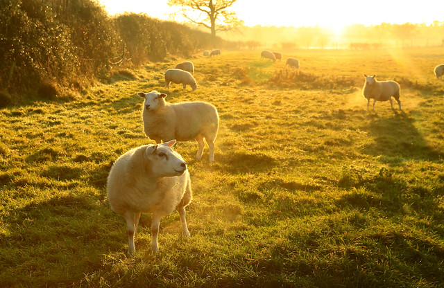 sheep, at the end of the day...