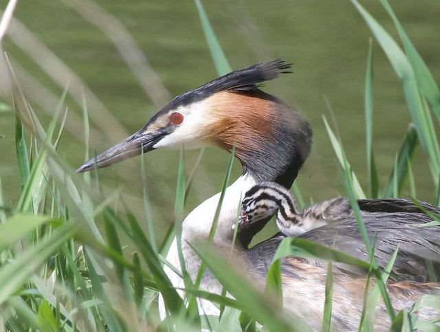 Great Crested Grebe Family .      Podiceps Cristatus