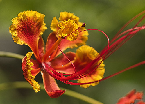 Fleur de flamboyant