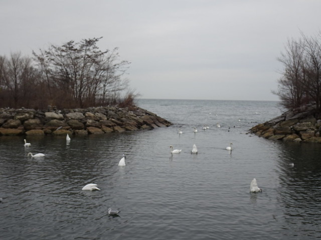 I seemed to have stumbled upon a Swan convention  (1 of 2)