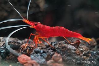 Yellow Nose Shrimp (Caridina spinata) - caridina-spinata-20201126_225702
