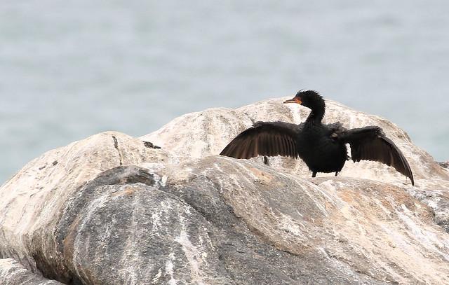 Cormoran couronné - West Coast National Park/Western Cape/South Africa_20181206_006-1