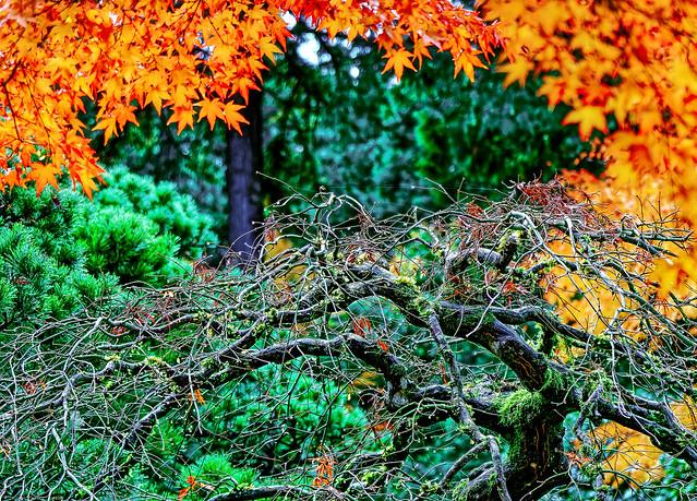Maple, Japanese Maple, Dew, Spider Web