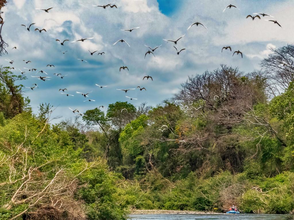 Vol d'aigrettes sur le Rio Tenorio... 50649301397_0e2f861bcd_b