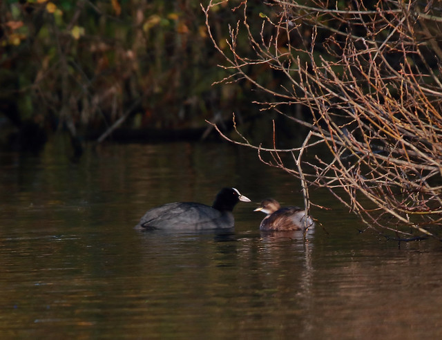 Coot & Little Grebe