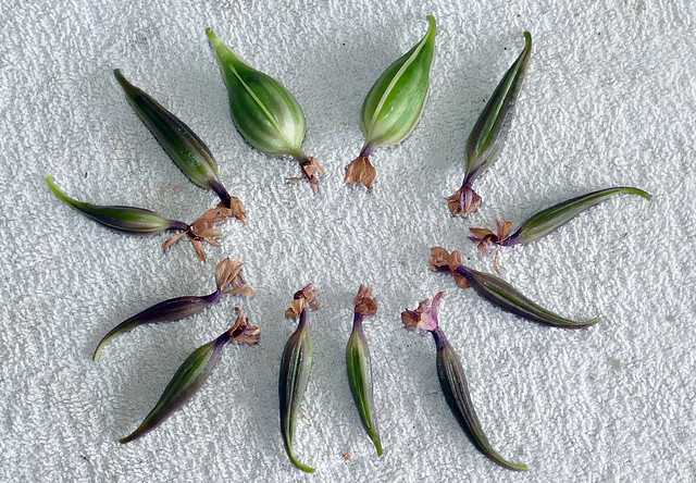Epidendrum ibaguense species orchid seed pods 11-20