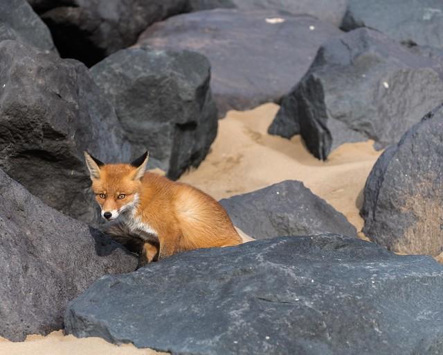 """This fox """"rocks""""!"""