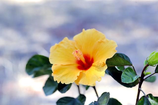 _DSC3499e ~ Hawaiian Punch Hibiscus