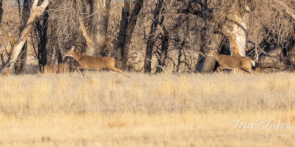 A white-tailed deer buck chases after a doe. (© Tony's Takes)