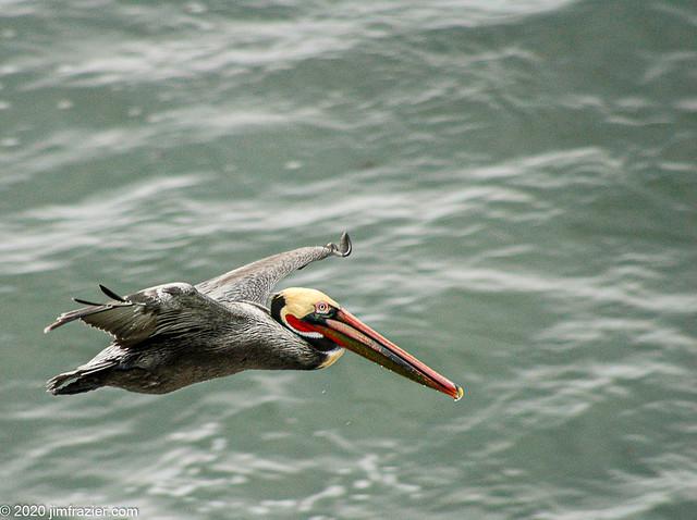 Adult Brown Pelican (redux)