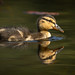 Quacking Cutie