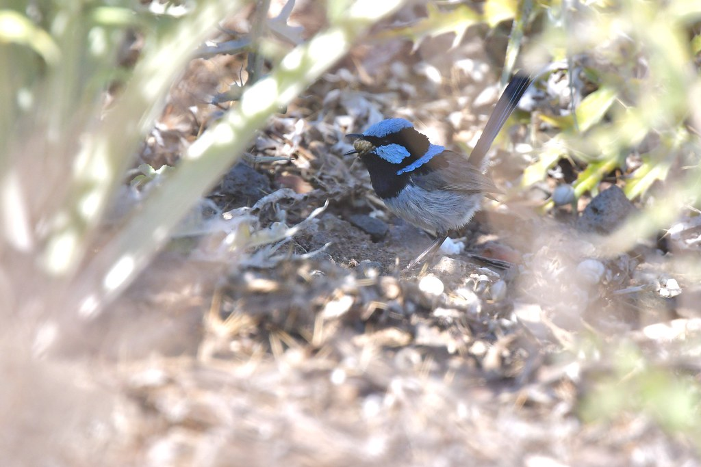 Superb Fairy -wren ( its a big meal )