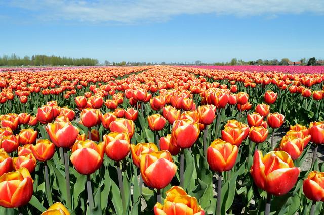 Tulip fields at Venhuizen, Netherlands.