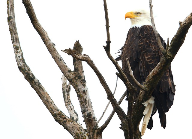 bald eagle near Protivin IA 653A6145