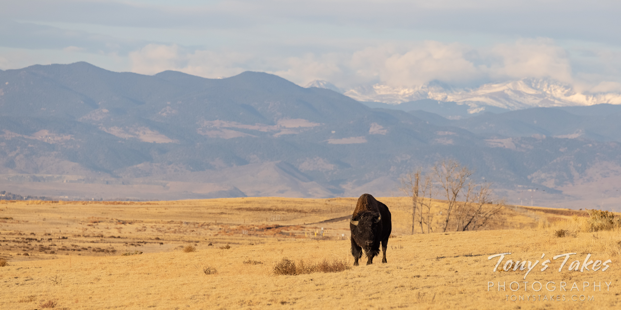 A bison bull walks on the plains with the Rocky Mountains seen behind it. (© Tony's Takes)