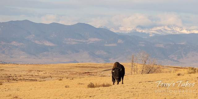 Bison at home on the range in the shadows of the Rocky Mountains