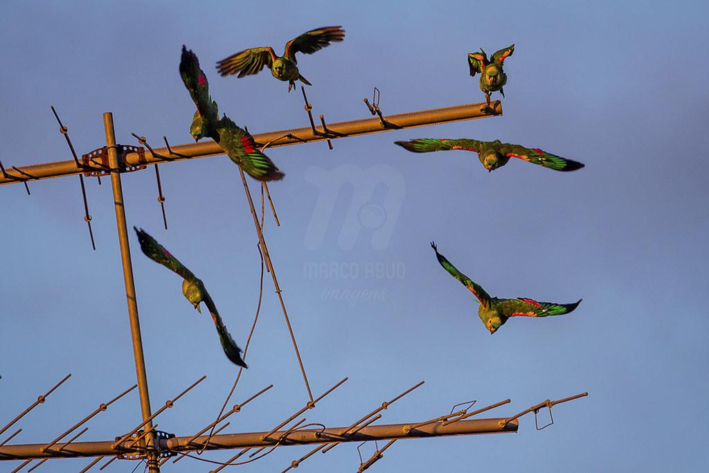 Papagaio-Verdadeiro | Turquoise Fronted Parrot | Amazona aestiva