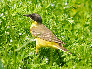 A male western yellow-wagtail in a field of young lentils after a spring migration from Africa, Isola di Ventotene, Lazio, Italy.