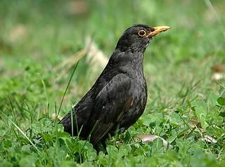 A male European blackbird, Villa d'Este, Tivoli, Italy.