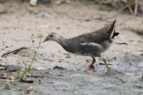 Common Moorhen (Female)