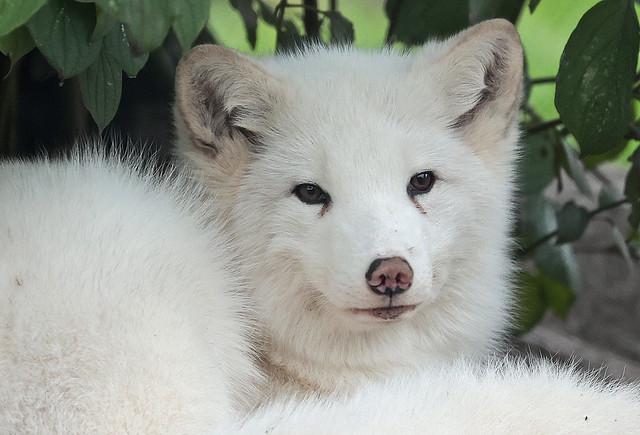 arctic fox Blijdorp 9K2A0244