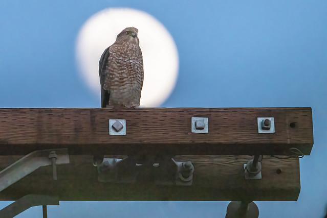 Cooper's Hawk in the Moon