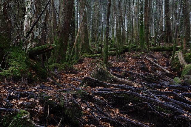 苔の森 北八ヶ岳 11月