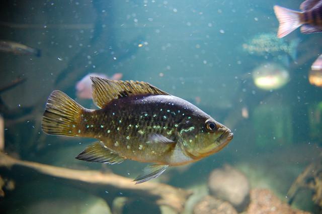 Banded Sunfish