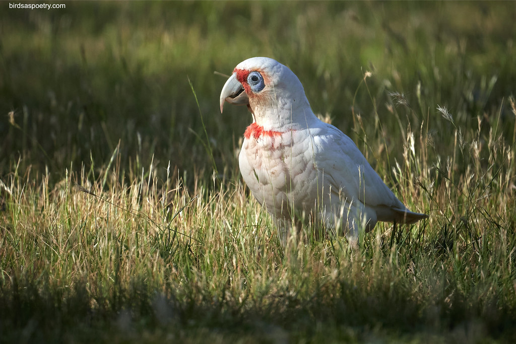 "Long-billed Corella: ""... finds a streetlight, steps out of the shade"""