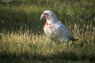 "Long-billed Corella: ""... finds a streetlight, steps out of the shade"" 
