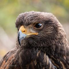 Hawk (14 of 15)