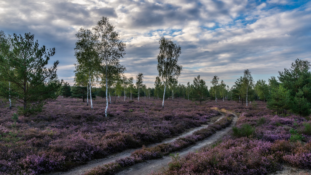 the blooming heather - Die Heide blüht (explore #300)