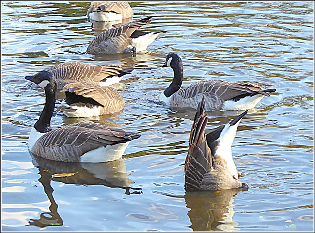 Selection of Canada Geese ...