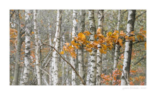 Birch trunks and oak leaves